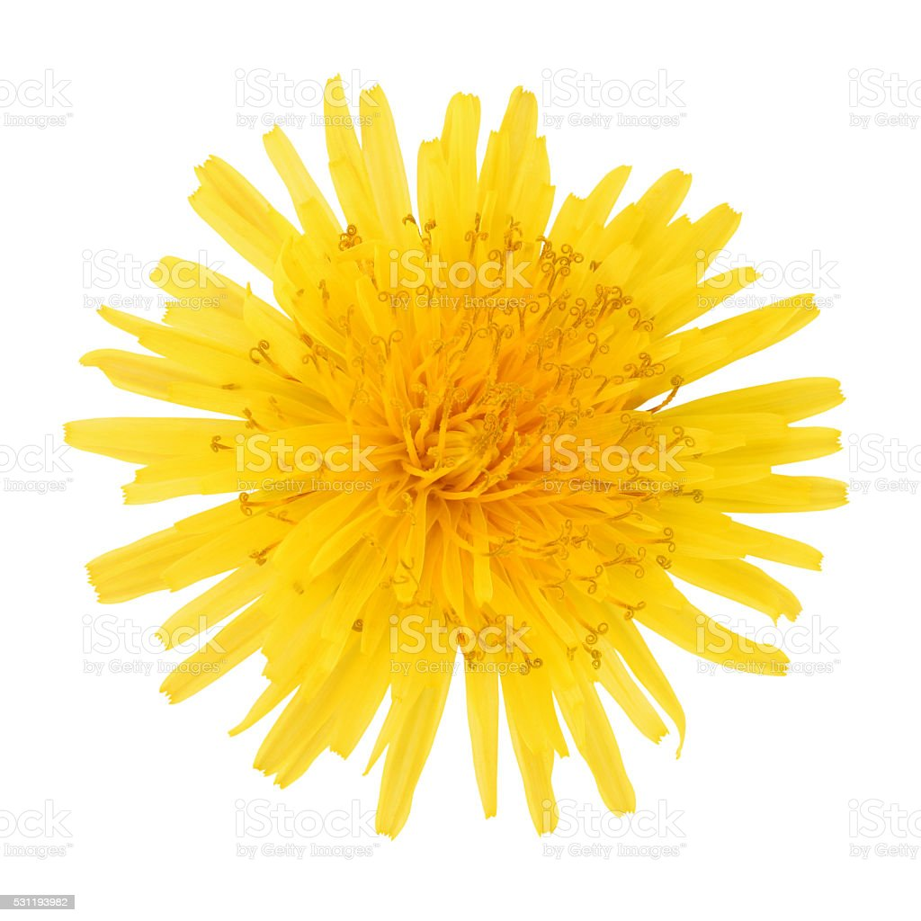 Yellow Dandelion (with path) stock photo