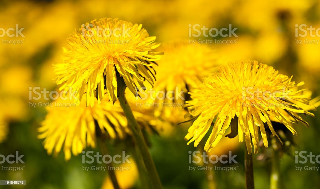 yellow dandelion . spring stock photo