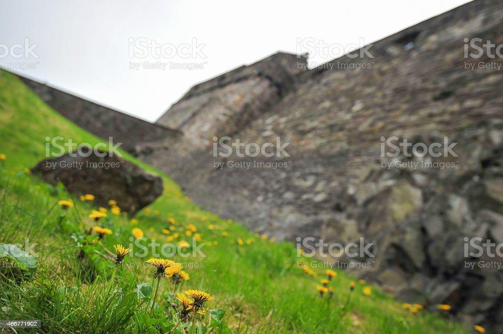 Yellow Dandelion (Grass flower) with Edinburgh Castle background stock photo