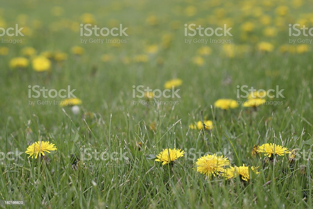 Yellow dandelions in the green grass royalty-free stock photo