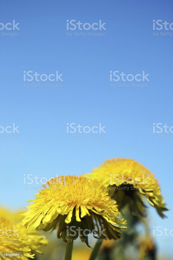 Yellow dandelions on sky background royalty-free stock photo