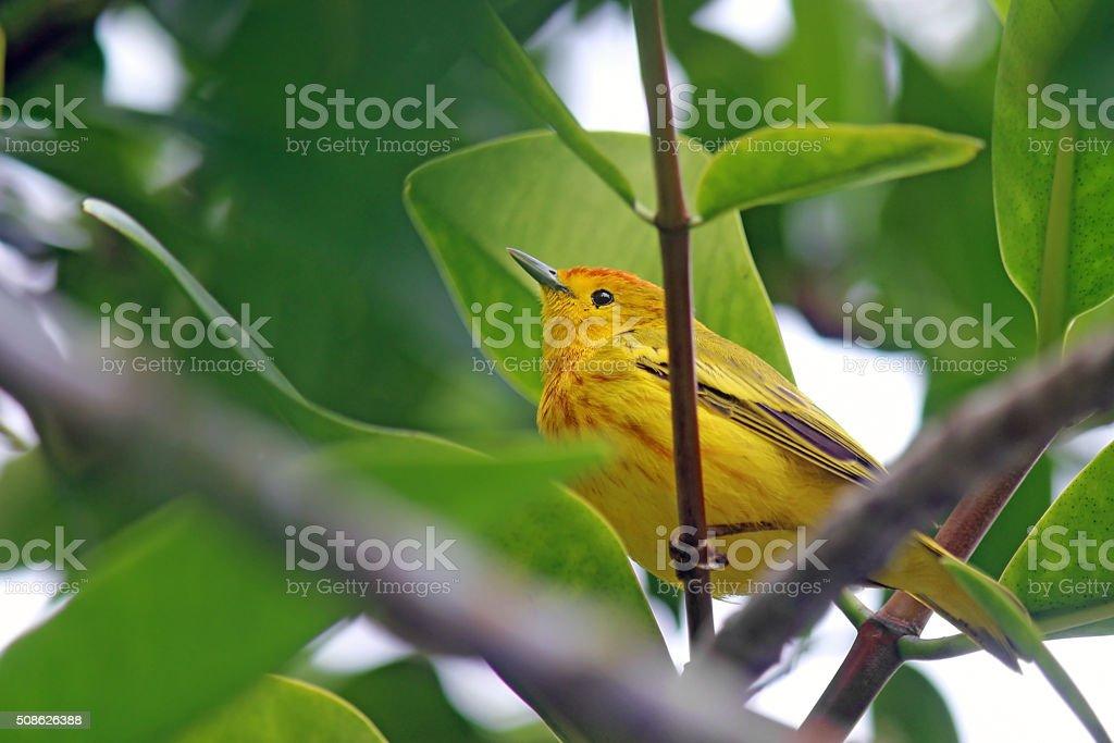 Yellow Darwin's Finch stock photo