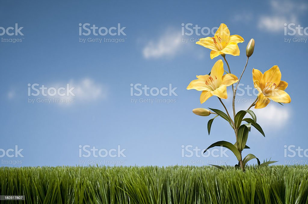 Yellow Day Lilies Growing In The Grass royalty-free stock photo