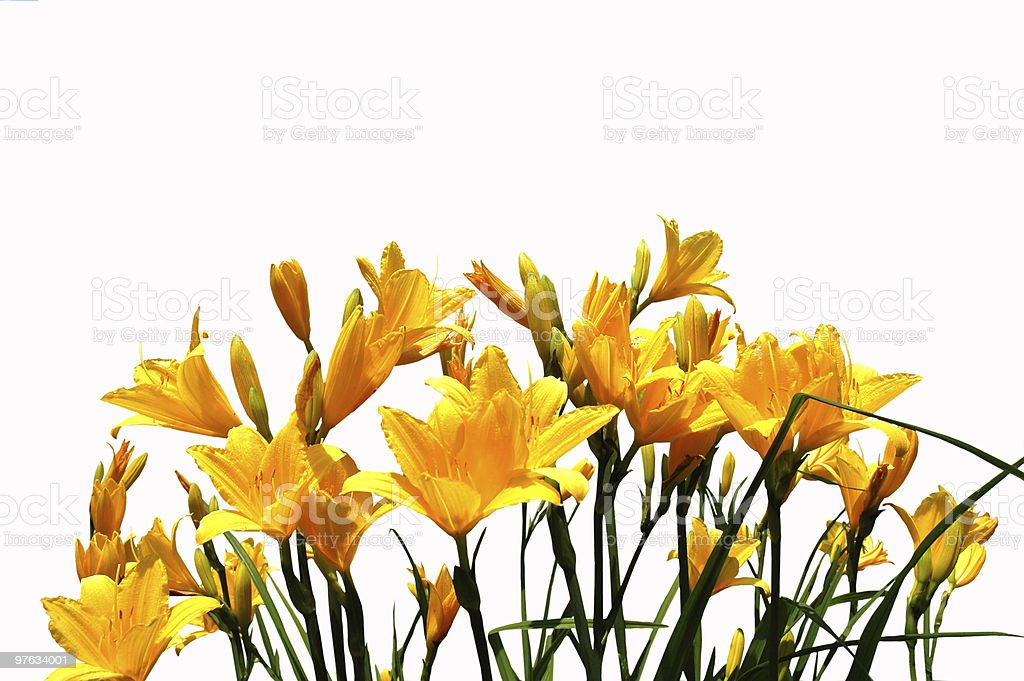 Yellow daylilys stock photo