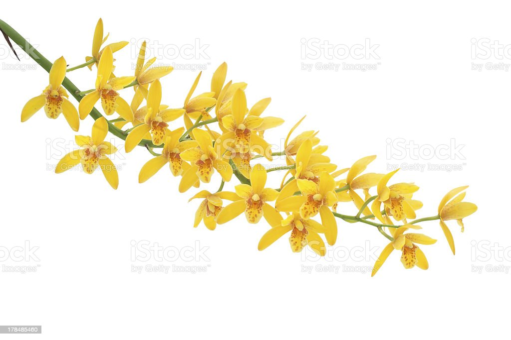 Yellow Dendrobium Orchid royalty-free stock photo