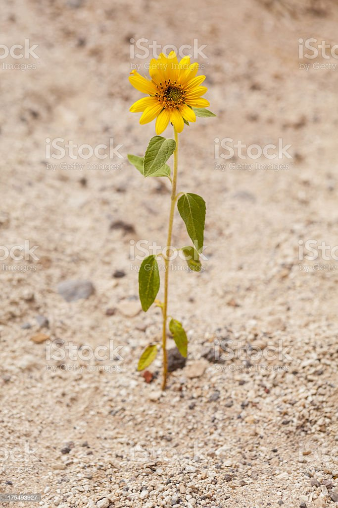 Yellow Desert flower groing in sand stock photo