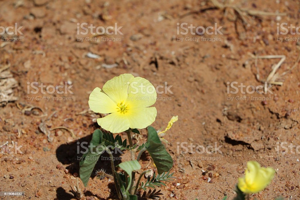 Yellow desert flower in Namibia, Africa stock photo