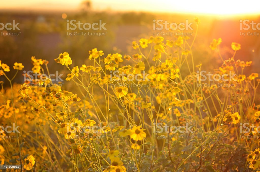 Yellow Desert Wildflowers stock photo