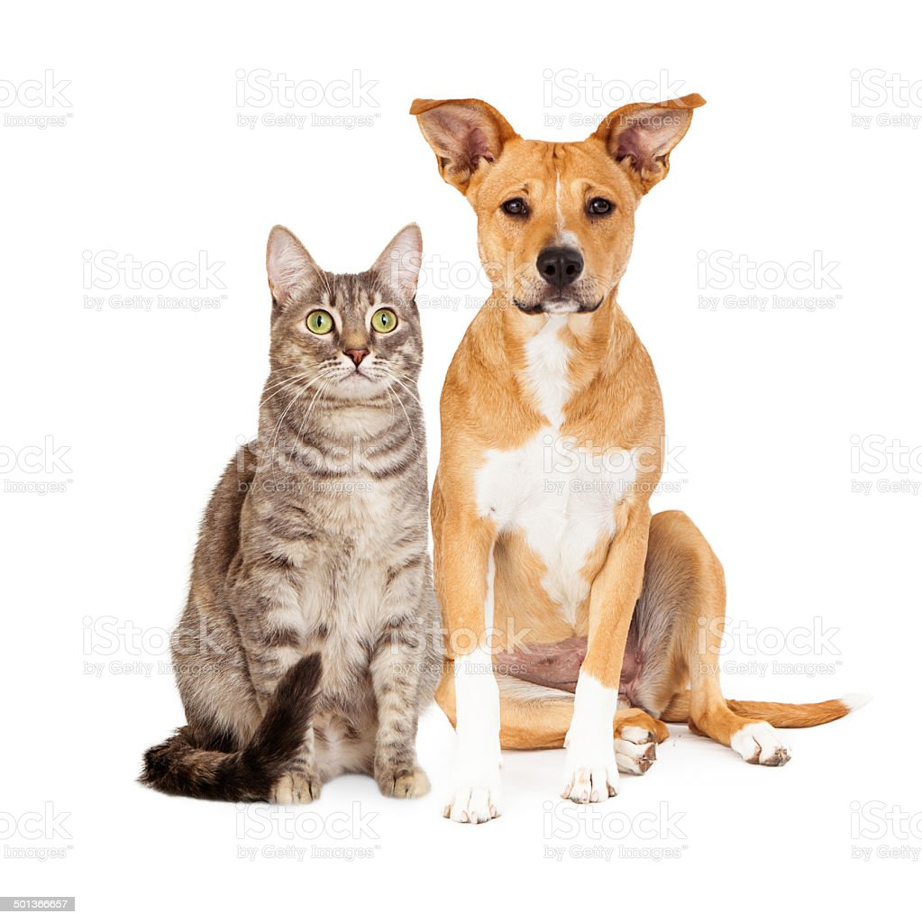 Yellow Dog and Tabby Cat stock photo