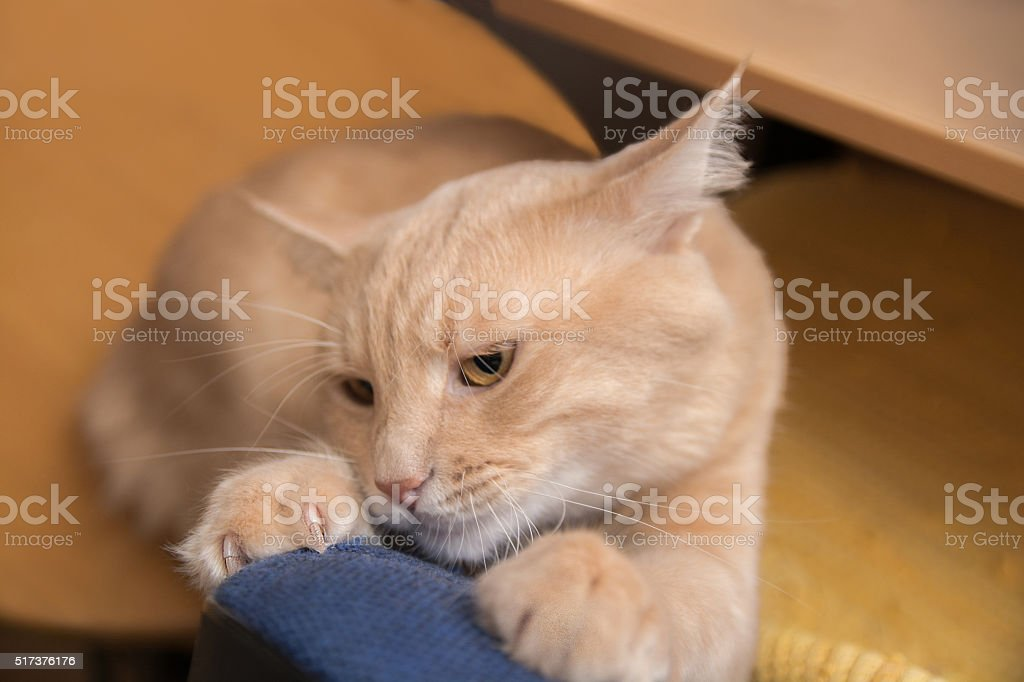 Yellow domestic cat scratching the furniture stock photo