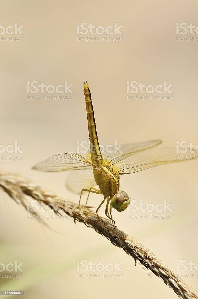 Yellow Dragonfly In The Garden royalty-free stock photo