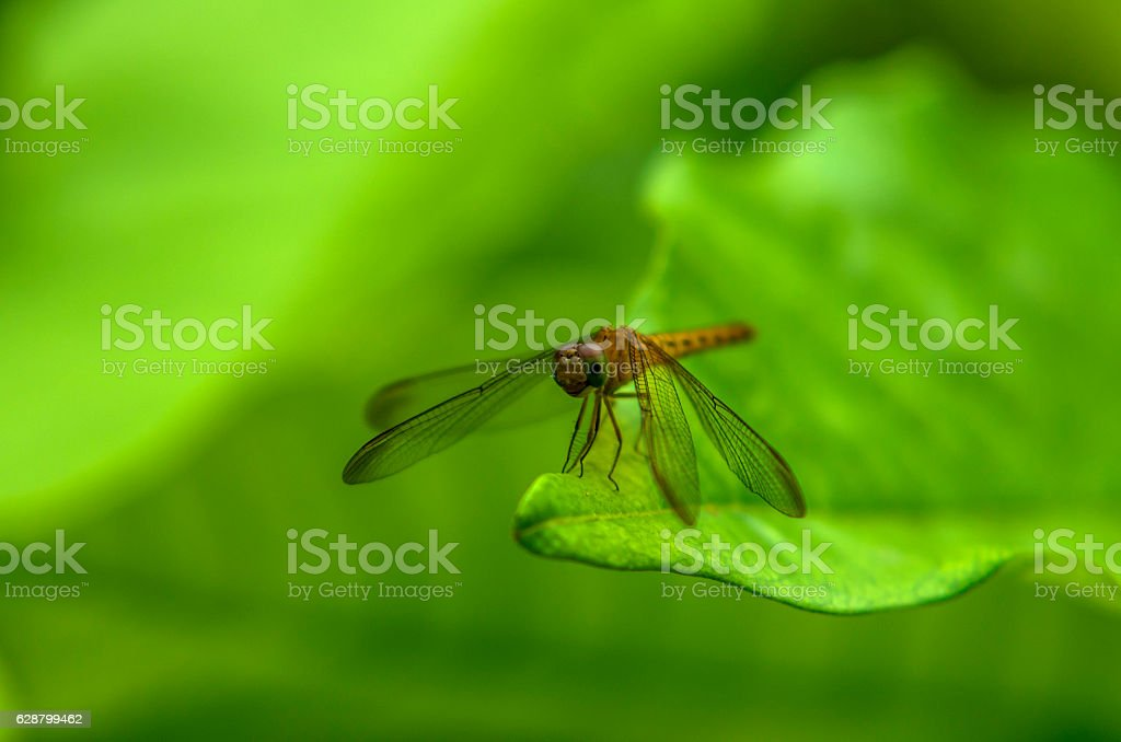 Yellow dragonfly on leaf stock photo