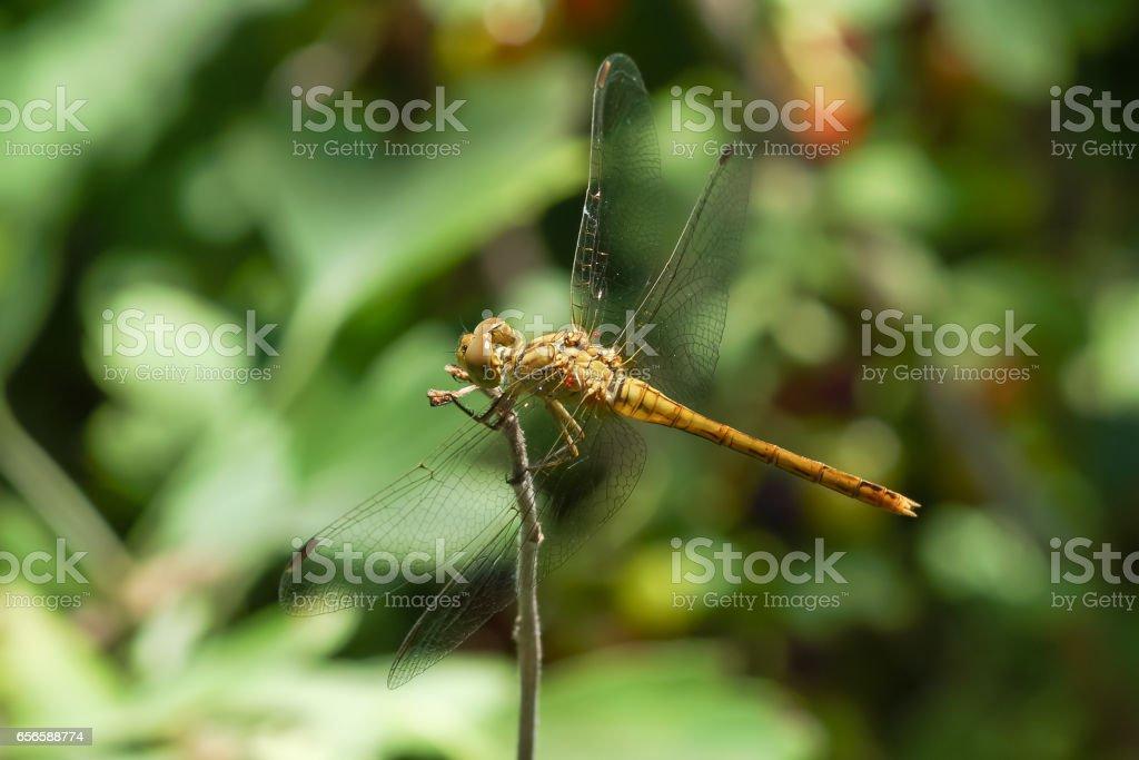 Yellow dragonfly (Sympetrum flaveolum) with blood-sucking larvae of ticks-ticks (Trombidiidae, Erythraeidae) stock photo