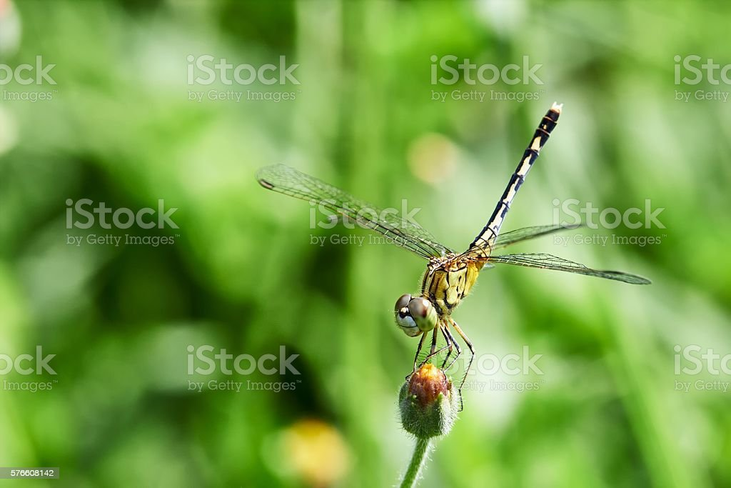 Yellow dragonfly with green background stock photo
