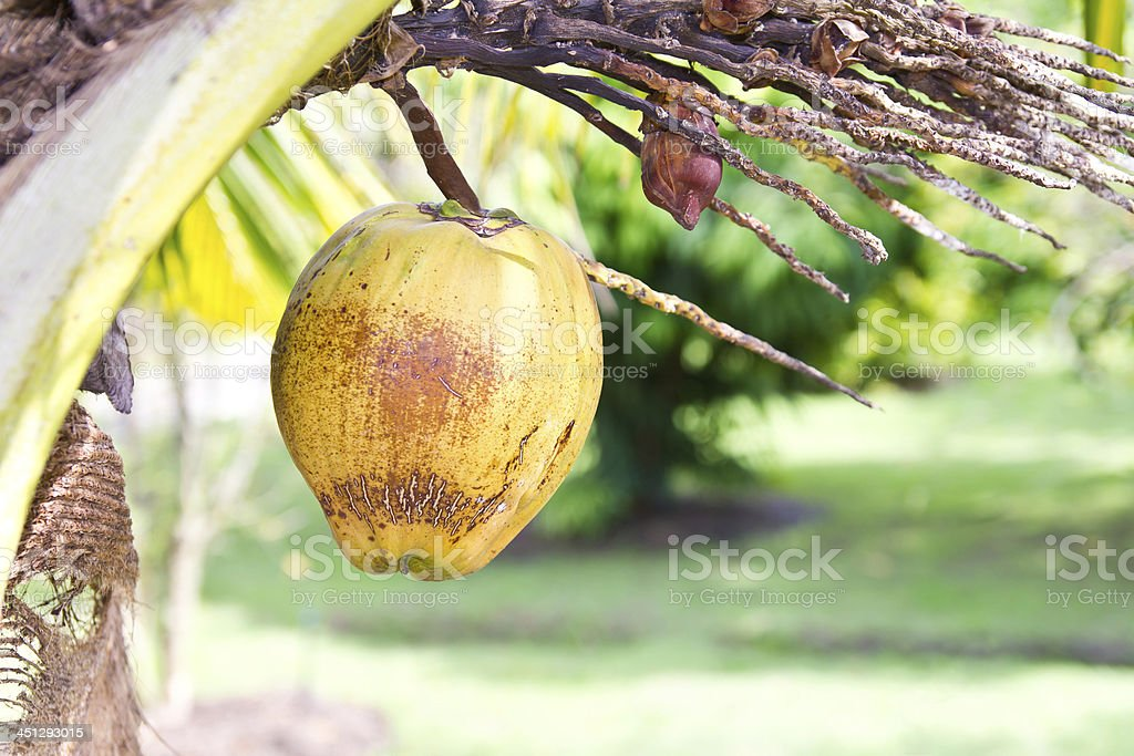 Yellow dry coconut royalty-free stock photo