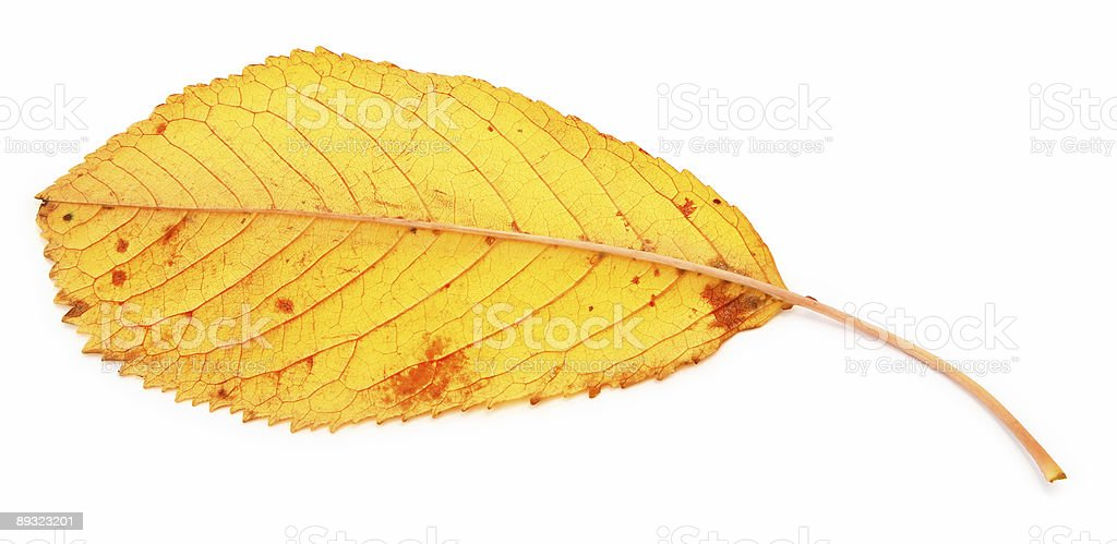 yellow dry fall leaf royalty-free stock photo