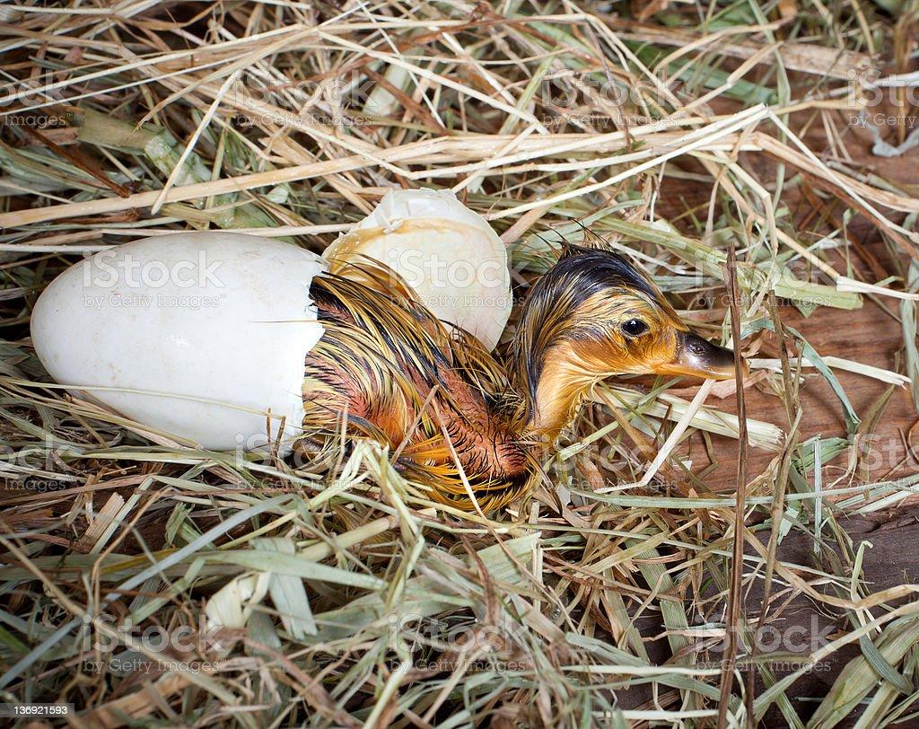 Yellow duckling birth royalty-free stock photo
