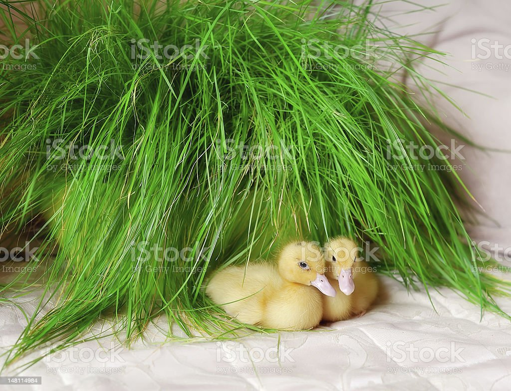 yellow ducklings royalty-free stock photo