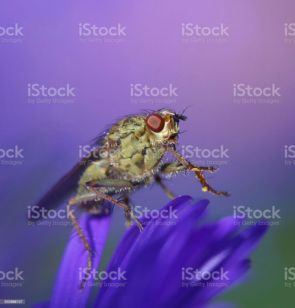 Yellow dung fly on aster stock photo