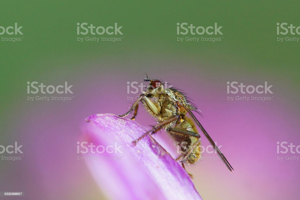 Yellow dung fly on dahlia stock photo