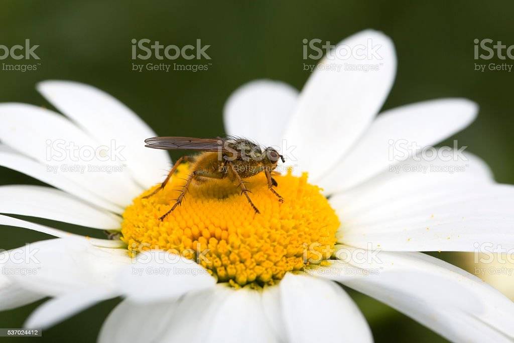 Yellow Dung Fly on Ox-eye Daisy; close-up stock photo