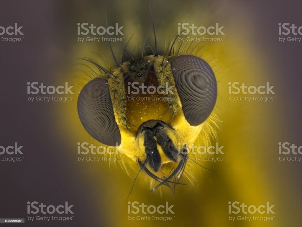 Yellow dung fly royalty-free stock photo