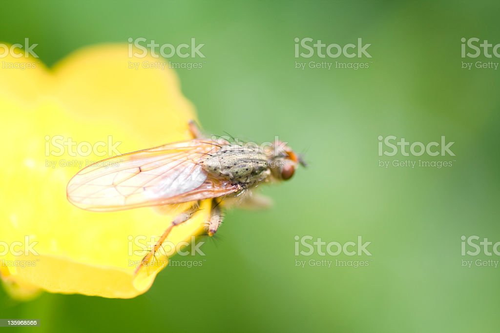 Yellow dung fly (Scathophaga stercoraria) stock photo