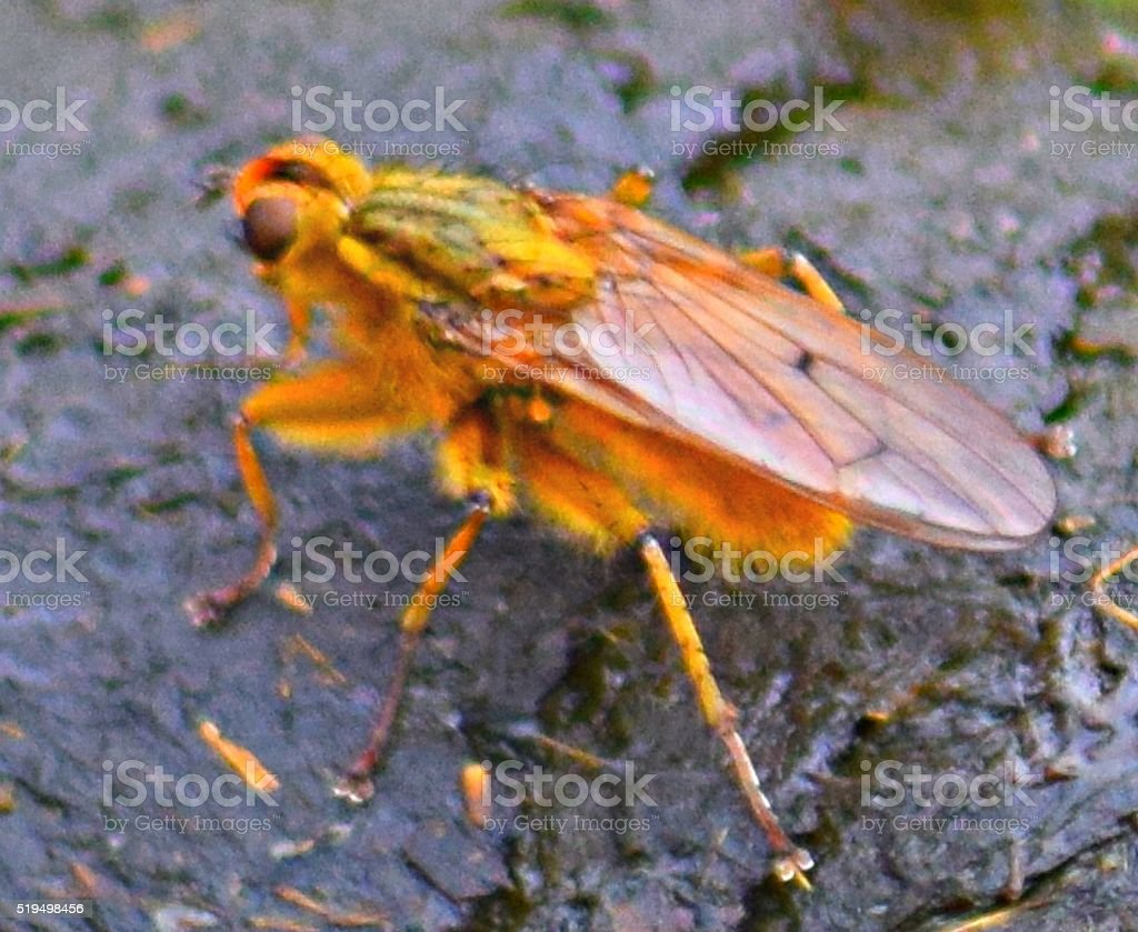 yellow dung fly stock photo