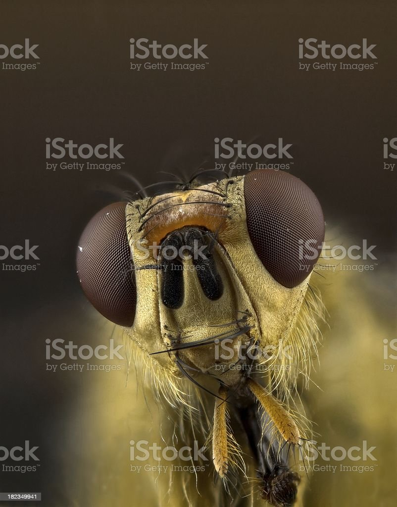 Yellow dung fly (Scatophaga stercoraria) portrait stock photo