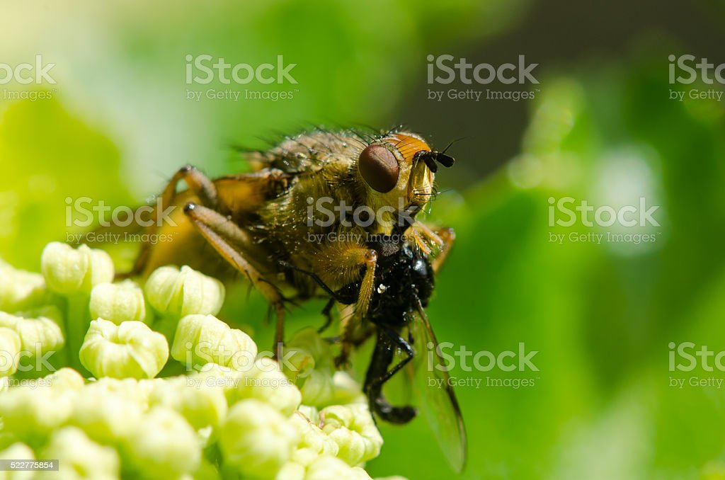 Yellow dung fly (Scathophaga stercoraria) with prey stock photo