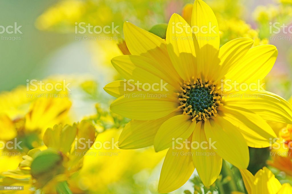 Yellow echinacea stock photo