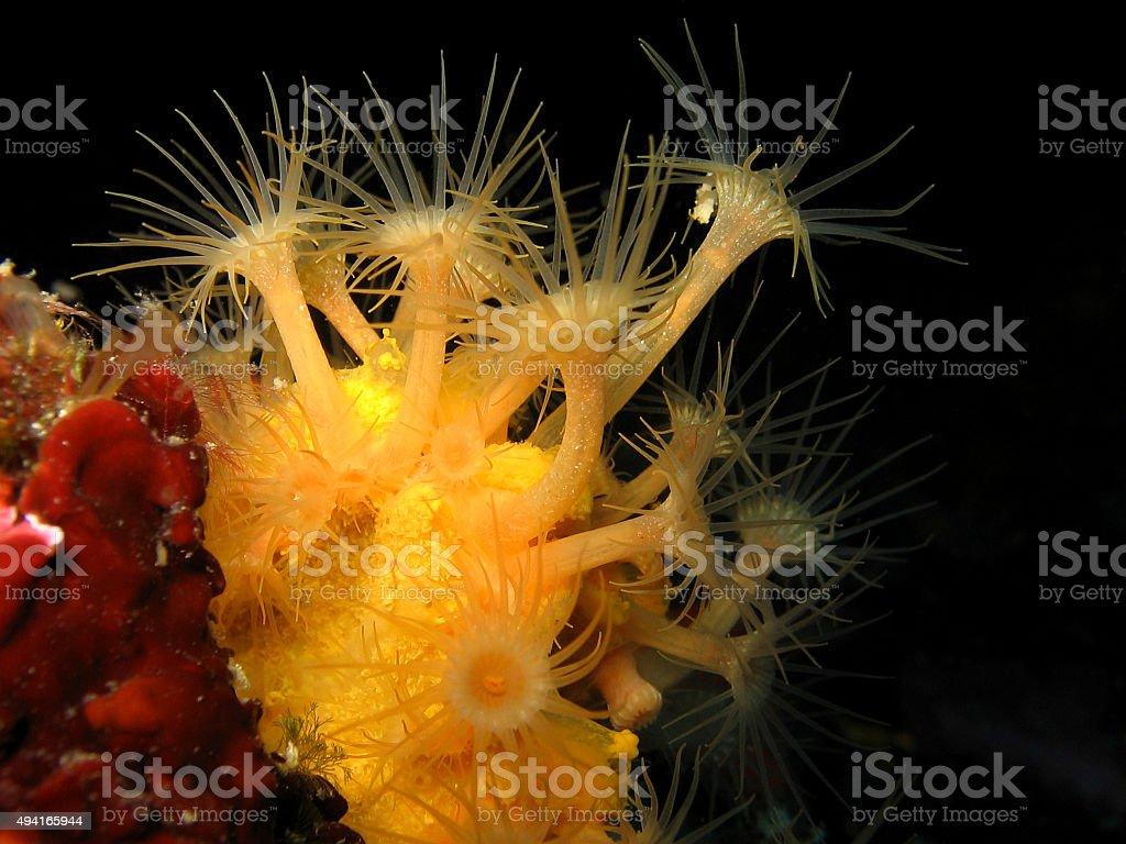 Yellow encrusting anemone, Gelbe Krustenanemone, Parazoanthus ax stock photo