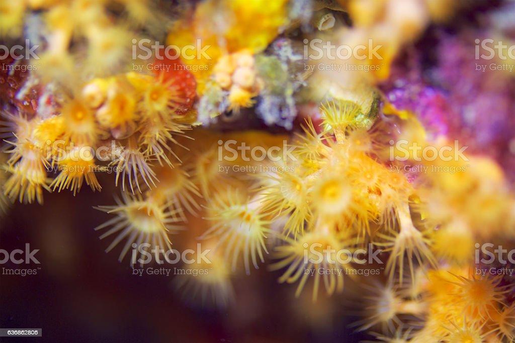 Yellow encrusting anemone (Parazoanthus axinellae) stock photo