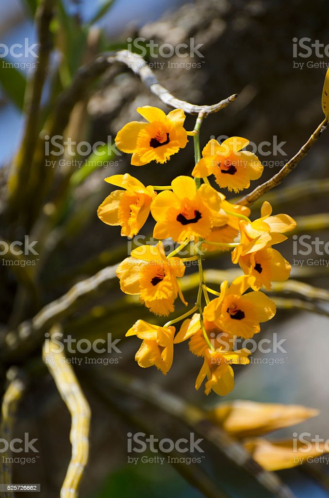 yellow epiphytic dendrobium orchid growing on tree stock photo