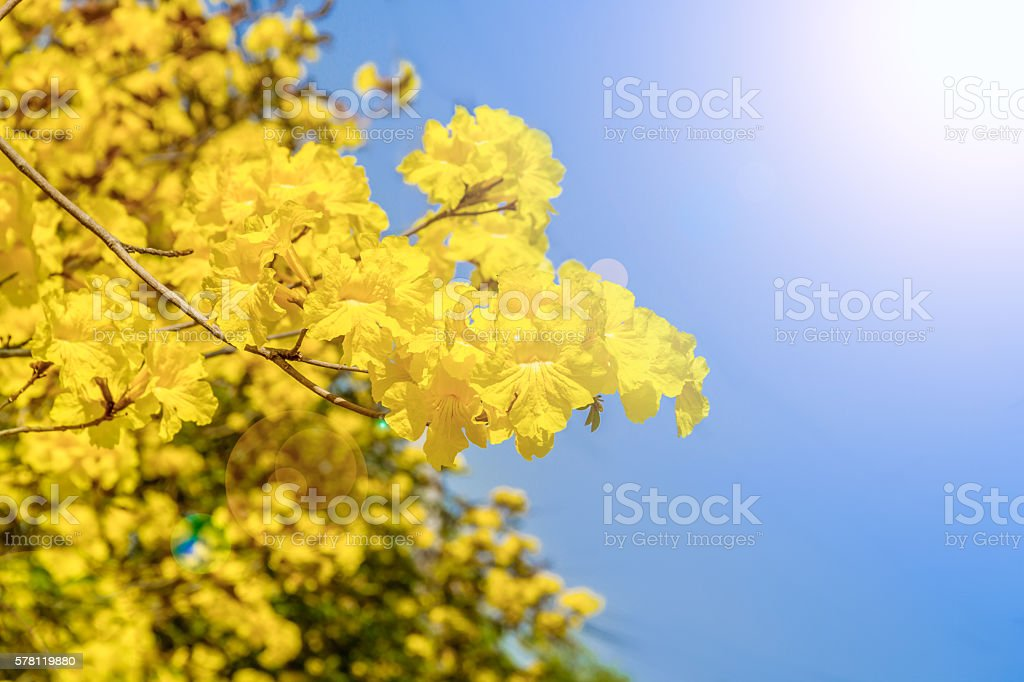 yellow exotic flowers on a tree stock photo   istock, Natural flower