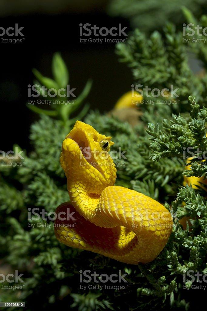 Yellow Eyelash Viper Coiled to Strike stock photo