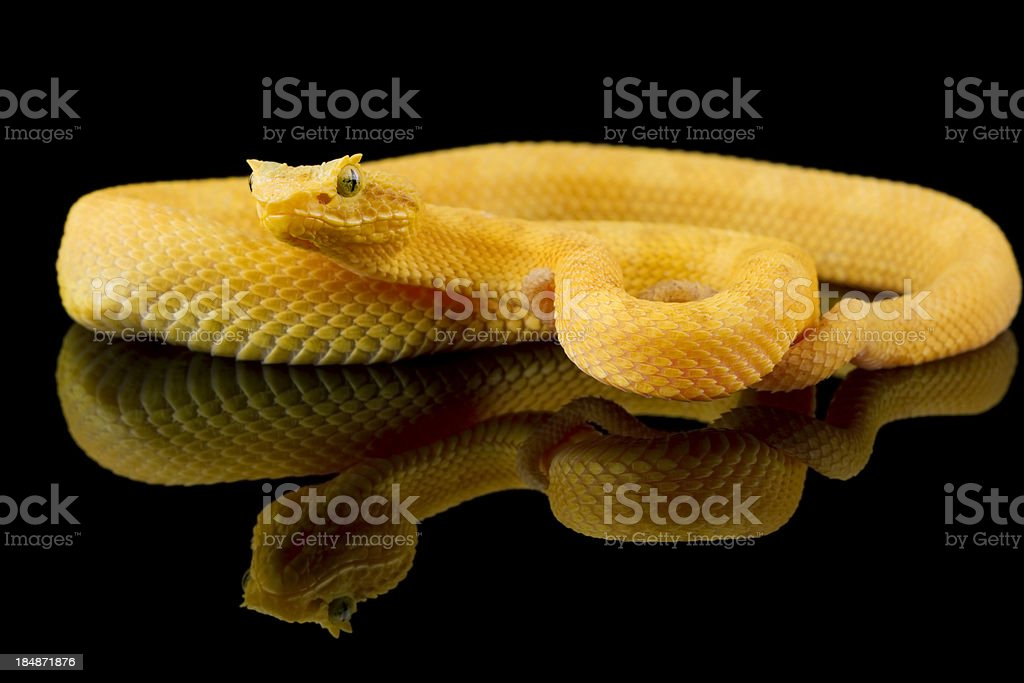 Yellow Eyelash Viper on Black Glass stock photo