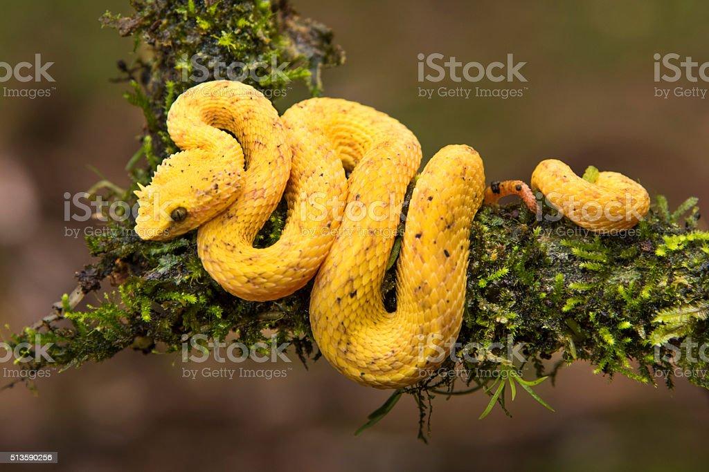 Yellow Eyelash Viper stock photo