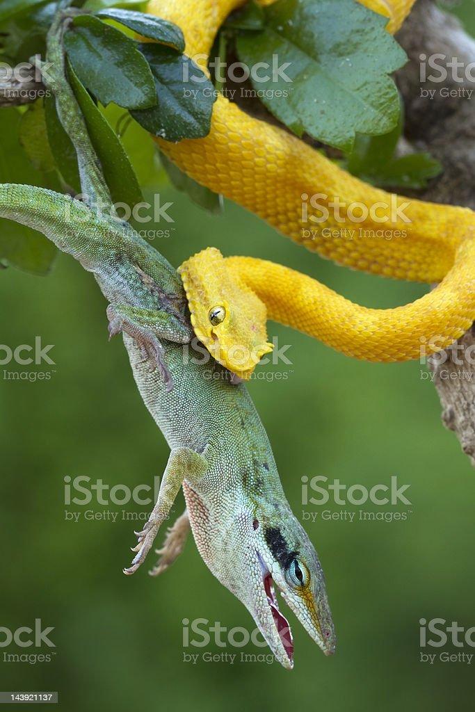 Yellow Eyelash Viper with Anole stock photo