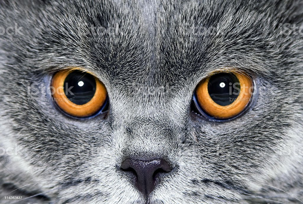 Yellow eyes  cat royalty-free stock photo