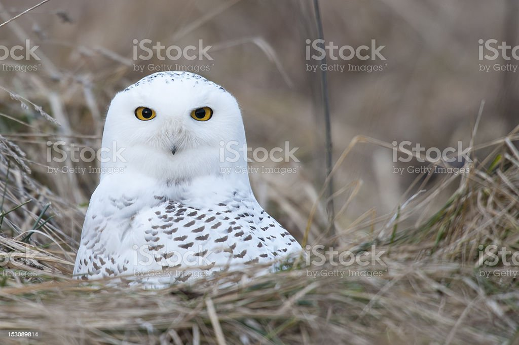 Yellow Eyes royalty-free stock photo