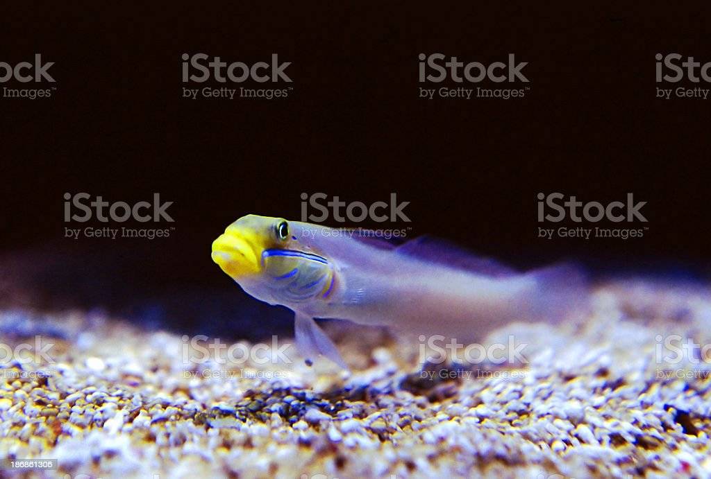 Yellow faced fish stock photo