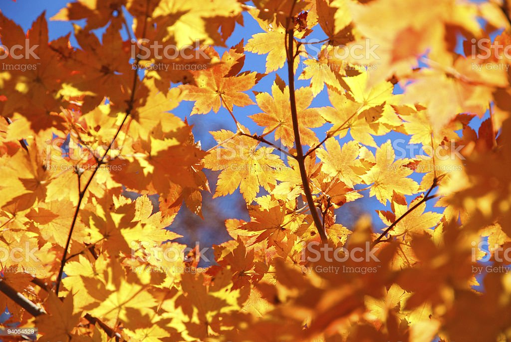 yellow fall maple foliage natural background stock photo