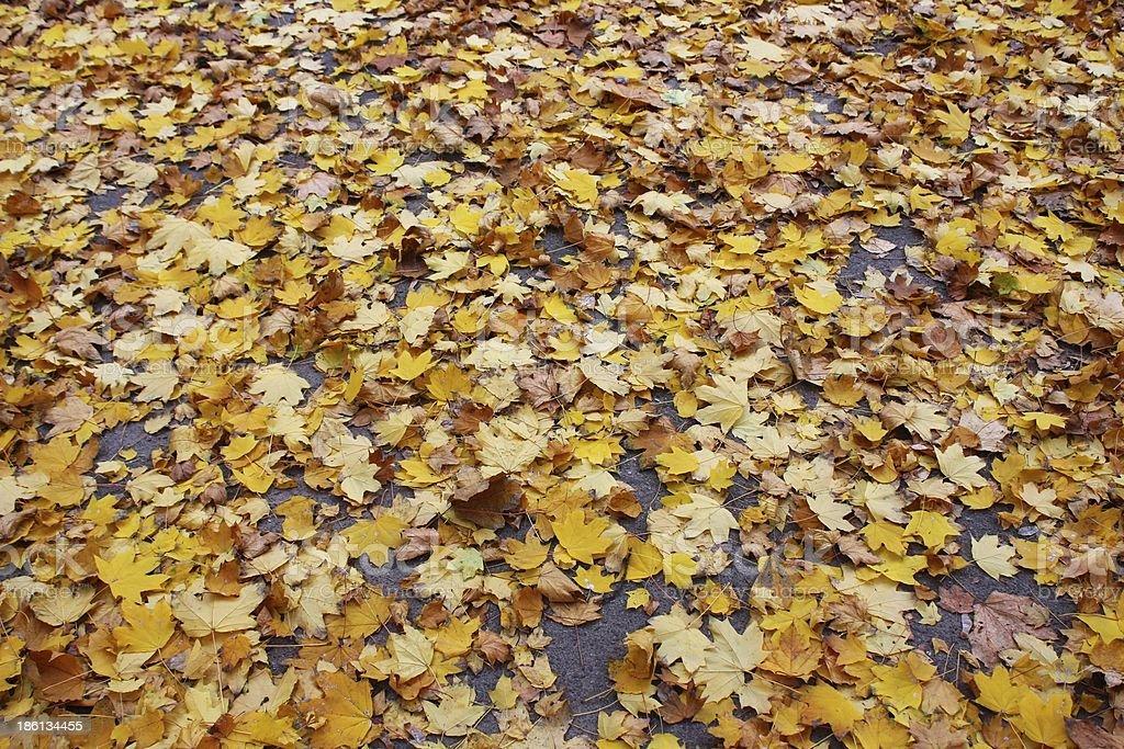 Yellow fallen leaves on asphalt (leaf carpet) royalty-free stock photo