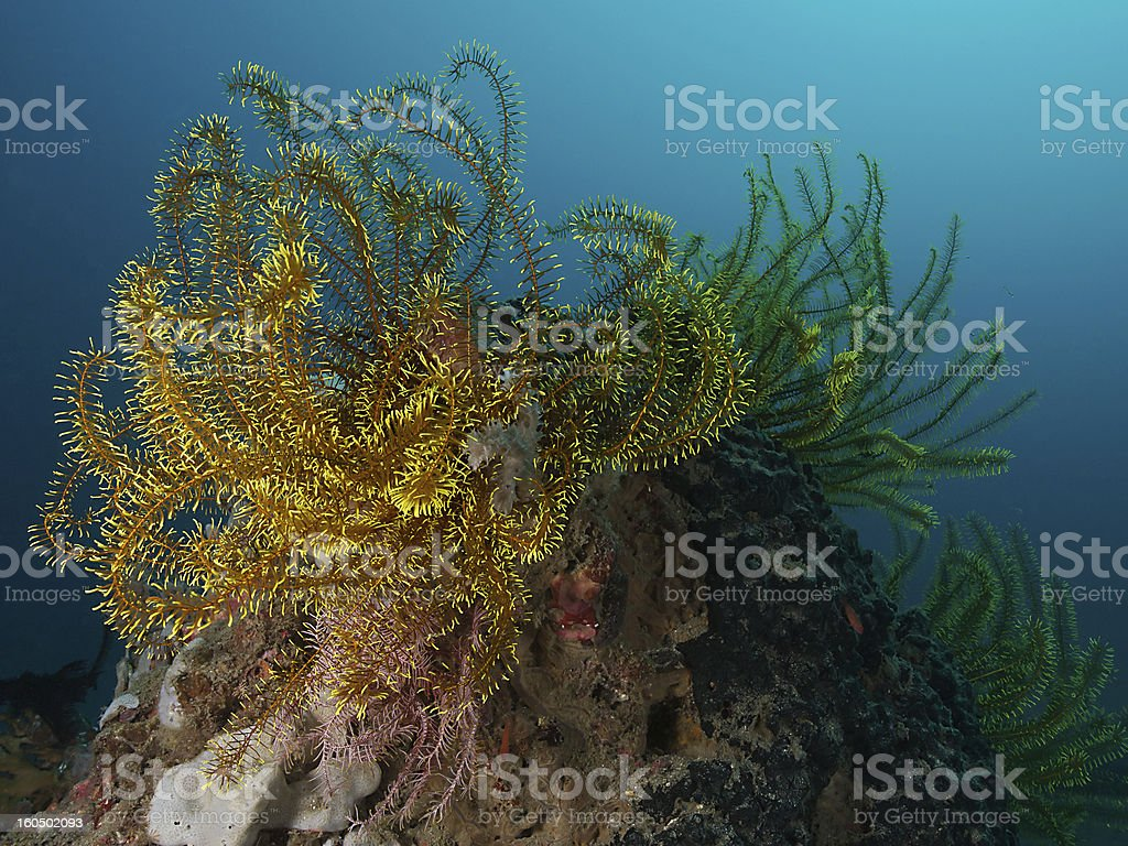 Yellow feather star (Himerometra robustipinna) stock photo