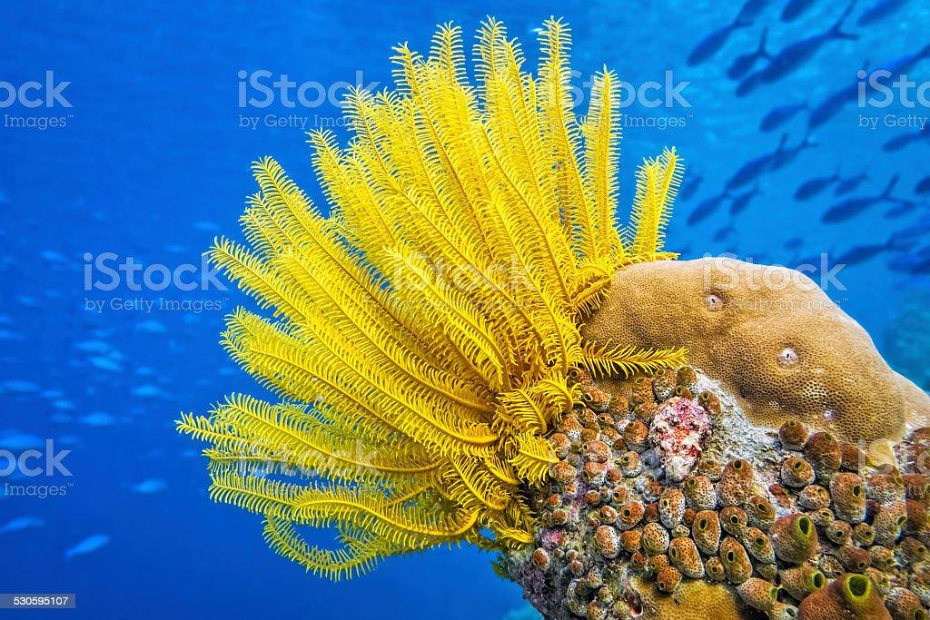 Yellow Feather star ( Crinoid ) - Sea lily stock photo