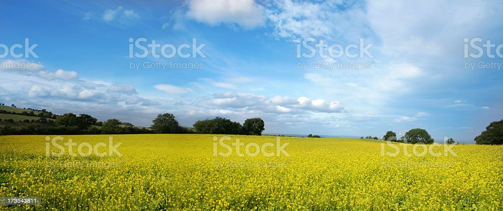Yellow Field 01 royalty-free stock photo