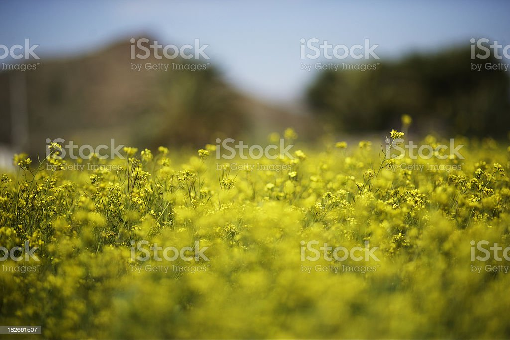 Yellow Field 4 royalty-free stock photo