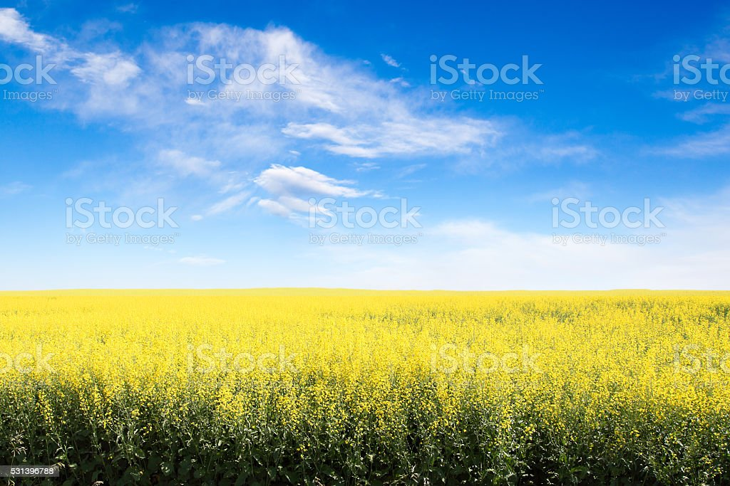 Yellow Field Against Blue Cloudy Sky With Copy Space stock photo