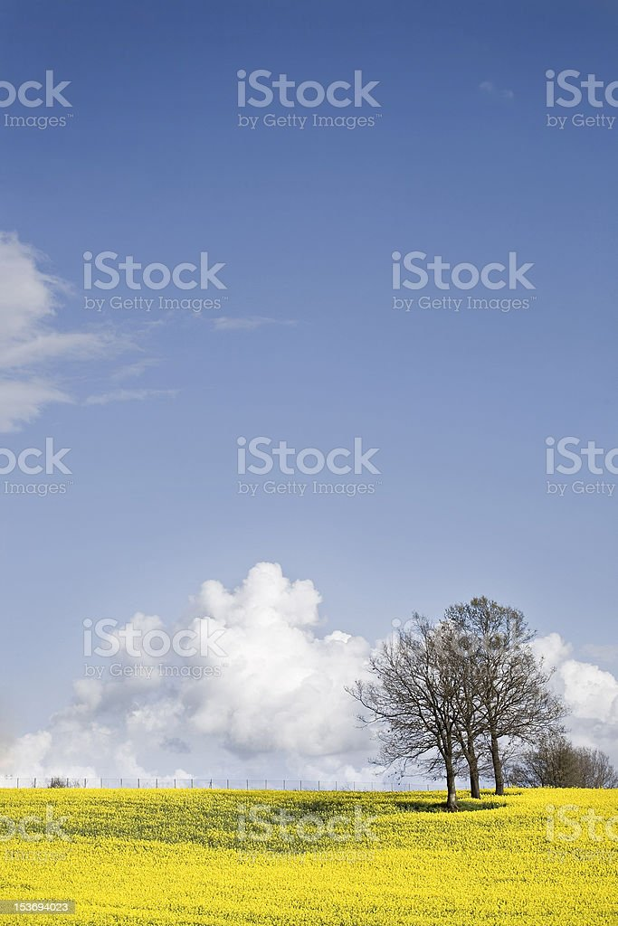 Yellow Field and Blue Sky royalty-free stock photo